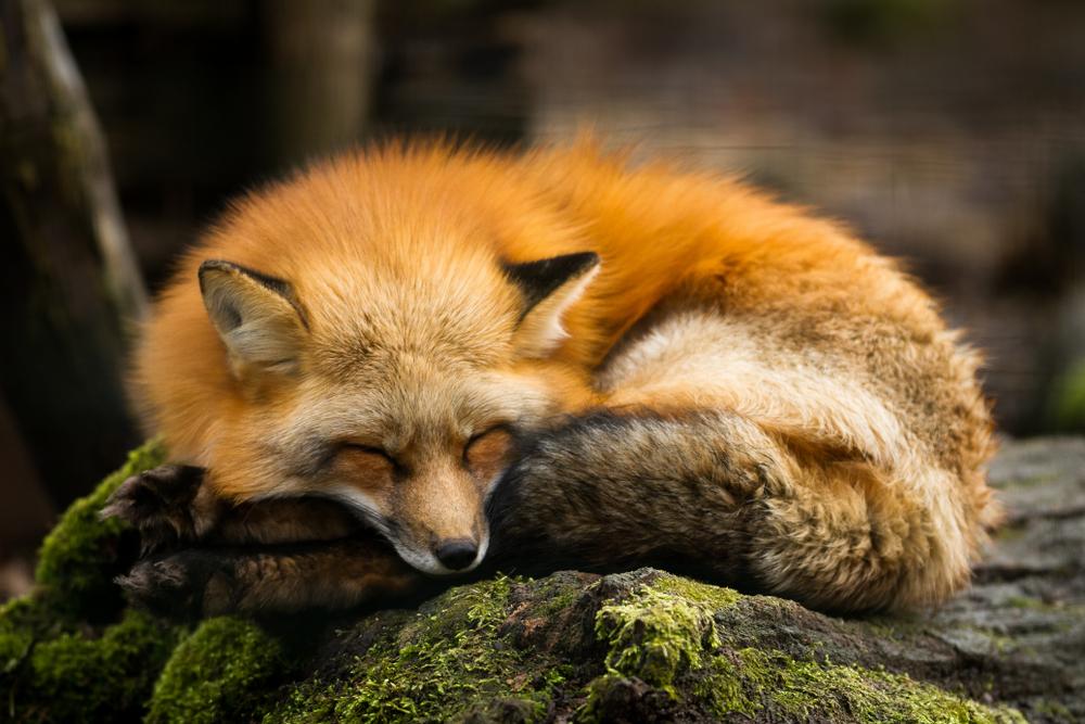 Rød ræv